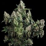 AK Cannabis Seeds