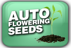 Autoflowering Cannabis seeds Usa