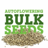 Autoflowering Seeds Usa Buy Bulk