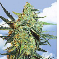 Blueberry Feminized Cannabis Seeds USA Available