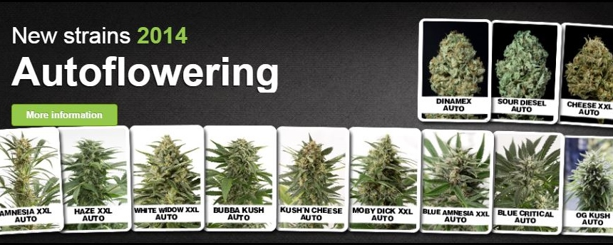 Cannabis Seeds Usa New Autoflowering Seeds