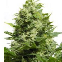 Cheese Feminized Cannabis Seeds USA Available