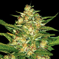 Diesel Feminized Cannabis Seeds USA Delivery Available