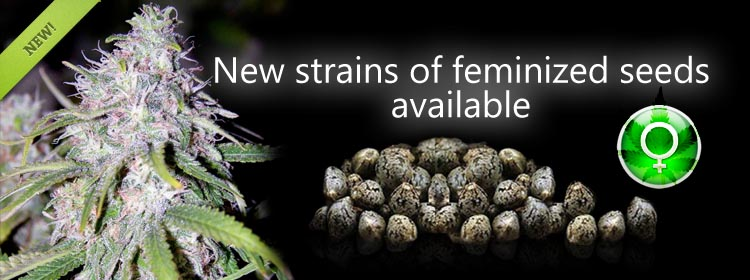 Feminized Cannabis Seeds Usa Worldwide Shipping - Best Online Prices.