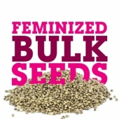 Feminized Cannabis Seeds Usa Shipping
