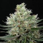 Haze Cannabis Seeds