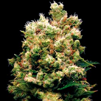 Kush Feminized Cannabis Seeds USA Delivery Available