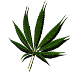 Sativa Cannabis Seeds Usa