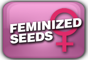 Feminized Cannabis Seeds Usa