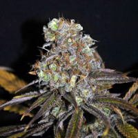 CBD Crew Seeds Critical Mass