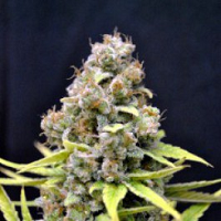 CBD Crew Seeds Shark Shock