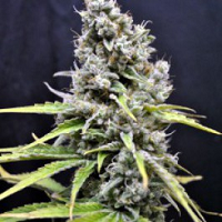 CBD Crew Seeds Skunk Haze