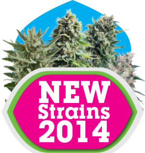 Cannabis Seeds Usa Shipping - New  Royal Queen Seeds 2014