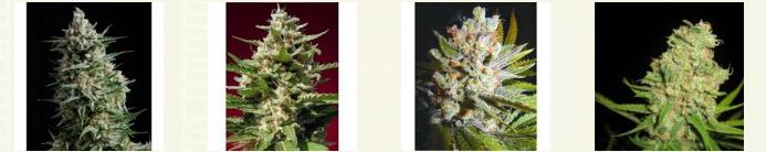 Marijuana Seeds Arkansas
