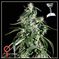 Cup Winning Cannabis Seeds Shipped To The United States