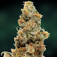 Outdoor Cannabis Seeds Shipped To The United States