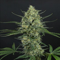Single Cannabis Seeds Shipped To The United States