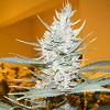 Cream Of The Crop Seeds - Amphetamine