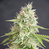 Cream Of The Crop Seeds - Double Cream