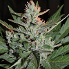 Cream Of The Crop Seeds - K.O. Crop