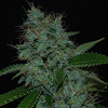 Cream Of The Crop Seeds - Narcotherapy