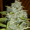 Cream Of The Crop Seeds - Psychofruit