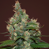 Cream Of The Crop Seeds - Sour Turbo Diesel