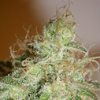 Cream Of The Crop Seeds - White Chronic