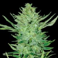 Emerald Triangle Headlights Kush - OG Kush Auttoflower Seeds