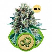 Royal Queen Seeds Bubble Kush Auto - OG Kush Autoflower Seeds