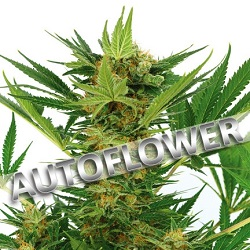 AK-47 Autoflowering Cannabis Seeds USA