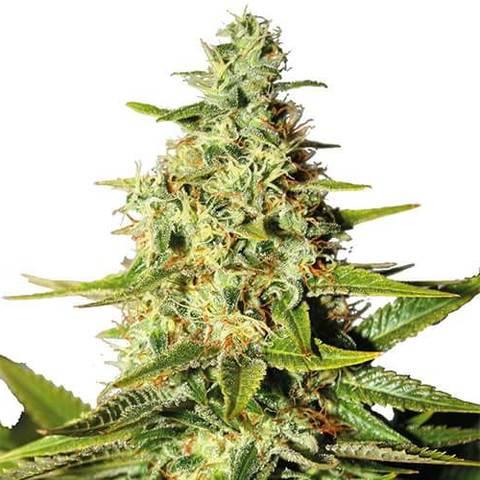 Afghan Cannabis Seeds USA