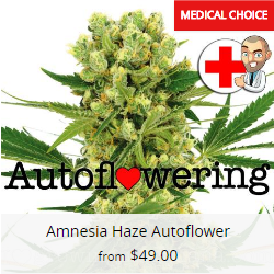 Amnesia Haze Autoflower Seeds