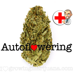 Amnesia Haze Autoflower Strain