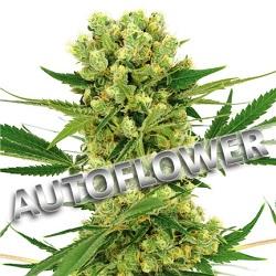 Amnesia Haze Autoflowering Cannabis Seeds USA