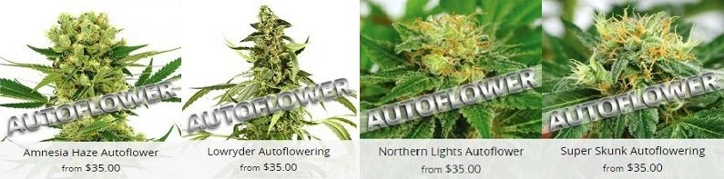 Autoflowering Cannabis Seeds Guaranteed Delivery