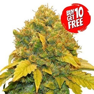 Banana Kush - Buy 10 Get 10 Free Seeds