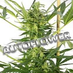 Blueberry Autoflowering Cannabis Seeds USA