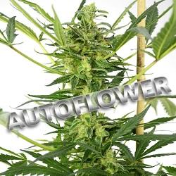 Blueberry Autoflowering Cannabis Seeds USA