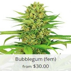 Buy Bubble Gum Cannabis Seeds