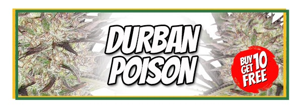 Buy 10 Durban Poison Seeds Get 10 Free In The Saint Patrick's Day Sale