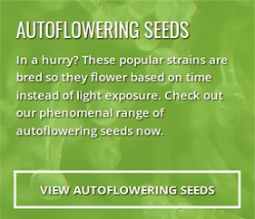 Buy Autoflower Seeds