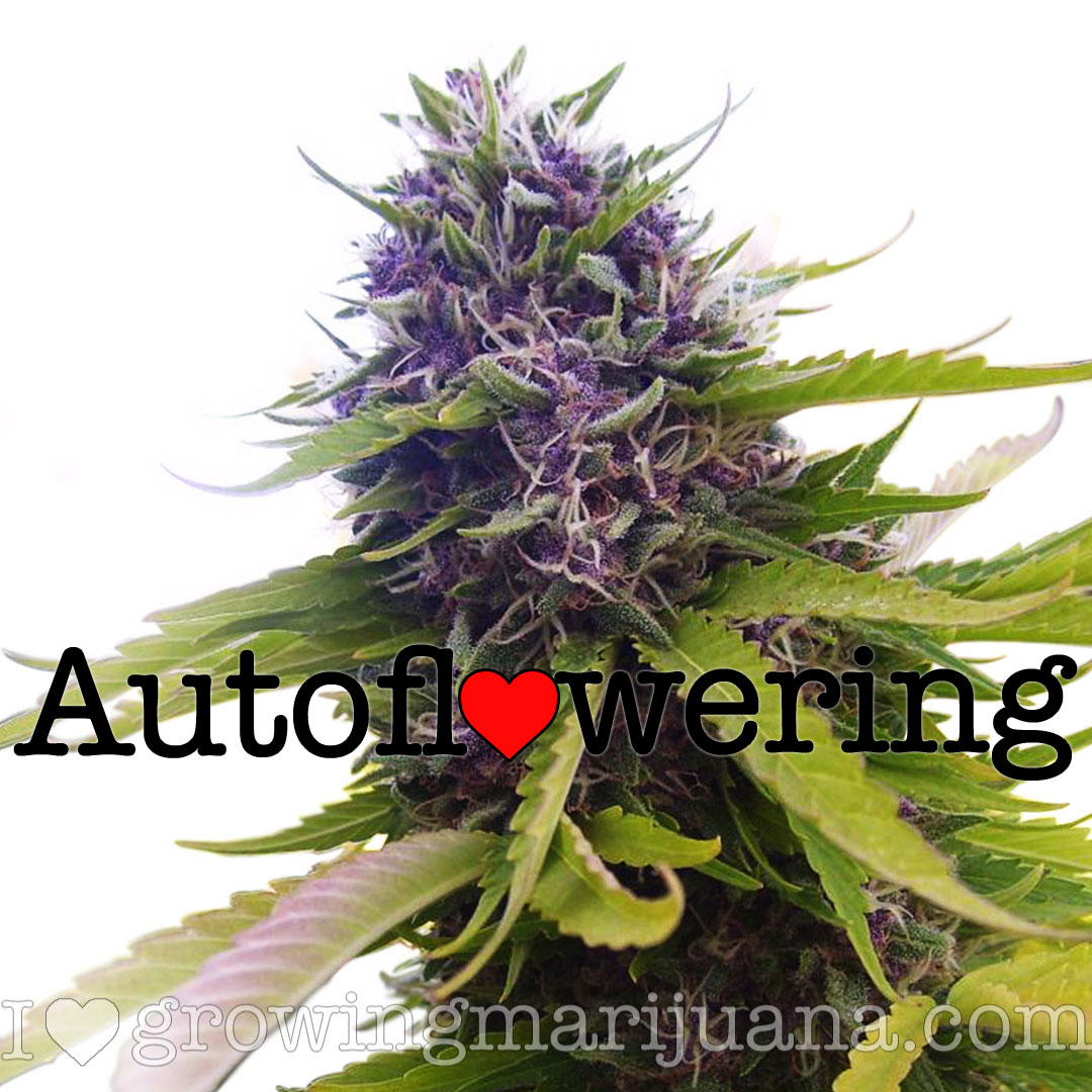 Buy Blueberry Autoflower Seeds