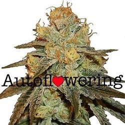 Buy Bruce Banner Autoflower Seeds