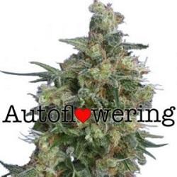 Buy Bubba Kush Autoflower Seeds