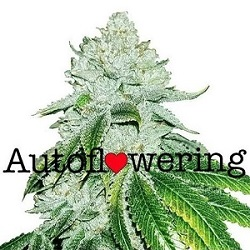 Buy Gelato Autoflower Seeds