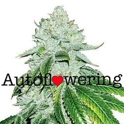 Buy Gelato Autoflower Seeds