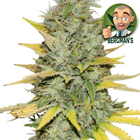 Buy Gold Leaf Seeds