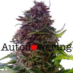 Buy Granddaddy Purple Autoflower Seeds