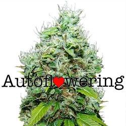 Buy NYC Diesel Autoflower Seeds